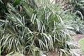 Rhapidophyllum hystrix 18zz.jpg