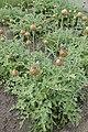 Rhaponticum pulchrum kz05.jpg