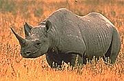 Rhinoceros Animals that are almost extinct