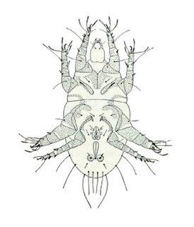 <i>Rhizoglyphus</i> genus of arthropods