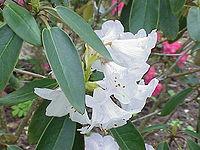 Rhododendron campanulatum1