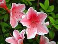 Rhododendron cv. 011.JPG