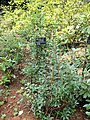 Rhododendron yunnanense - Kunming Botanical Garden - DSC02838.JPG