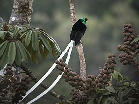 Ribbon-tailed Astrapia - Papua New Guinea (19981314929).jpg