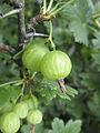 Ribes divaricatum fruit1.jpg