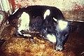 Rinderpest milk fever.jpg