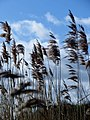 Riverside reeds - April 2014 - panoramio.jpg