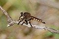Robber fly (5643084681).jpg