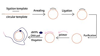 Rolling circle replication - The molecular mechanism of Rolling Circle Amplification (RCA)