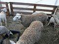 Romane brebis agneaux Périgueux.jpg
