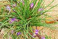 Romulea bulbocodium 3.jpg