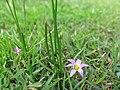 Romulea rosea plant3 (15302474751).jpg