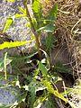 Rorippa amphibia sl4.jpg