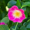 Rosa 'American Pillar' (d.j.b).jpg
