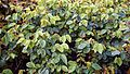 Rosa 'Aussemi' The Herbalist, at RHS Garden Hyde Hall, Essex, England 02.jpg