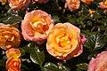 Rosa 'Britannia' IMG 4418.jpg