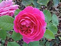 Rosa 'Lady of Megginch' 02.jpg