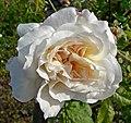 Rosa Celine Forestier 2.jpg