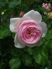 Rosa Heritage.JPG