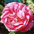 Rosa President de Seze.jpg