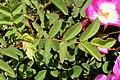 Rosa rubiginosa leaf (01).jpg