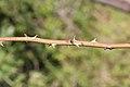 Rosa rubiginosa stem (03).jpg