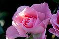 Rose, Jardins de France - Flickr - nekonomania.jpg