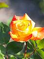Rose, Takao, バラ, 高雄, (14293325808).jpg