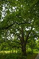 Rosentreter-Eiche Hermsdorfer Str 10 13469 Berlin 23. Mai 2015 004.jpg