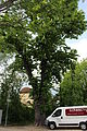 Rosskastanie Biedermannsdorf02.JPG
