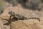 Roughtail rock agama (Stellagama stellio brachydactyla).jpg