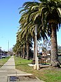 Row of Phoenix canariensis along Johnston Street and the Wollundry Lagoon.jpg