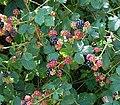 Rubus fruticosus 13 ies.jpg