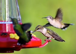 Ruby-throated Hummingbirds (15268384737).jpg
