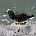 Ruddy Turnstone (Arenaria interpres) non-breeding (8405834765).jpg