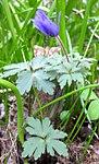 Ruhland, Grenzstr. 3, Balkan-Windröschen im Garten, Blätter und öffnende Blüten, Frühling, 06.jpg