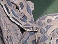 Russell's viper sk.jpg