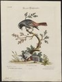 Ruticilla phoenicurus - 1700-1880 - Print - Iconographia Zoologica - Special Collections University of Amsterdam - UBA01 IZ16200236.tif