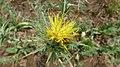Saffron Thistle flower (10868138664).jpg
