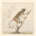 Saguinus oedipus - 1788-1863 - Print - Iconographia Zoologica - Special Collections University of Amsterdam - UBA01 IZA1000480.tif