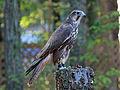 Saker Falcon RWD2.jpg