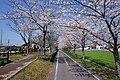 Sakura of Jofuku Cycle Road near Mitsunori Station.jpg