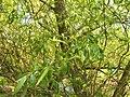 Salix alba 015.jpg
