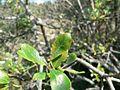 Salix myrsinifolia2.jpg