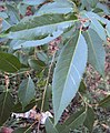 Salix tetrasperma 06.JPG