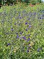 Salvia coahuilensis BotGardBln07122011C.JPG