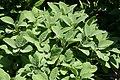 Salvia officinalis Berggarten 4zz.jpg