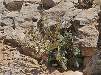 Salvia palaestina 1
