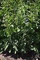 Salvia przewalskii.jpg