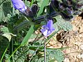 Salvia verbenaca FlowersCloseup 2010March29 DehesaBoyalPuertollano.jpg